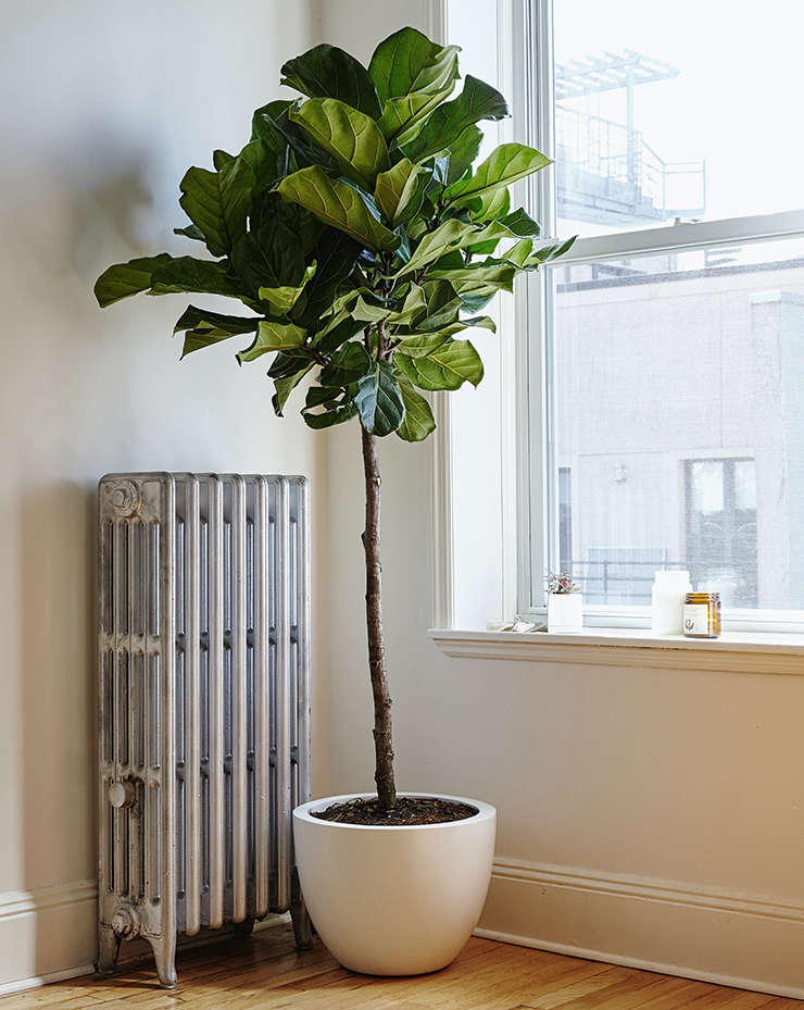 fiddle leaf fig tree fiddle leaf fig from the sill