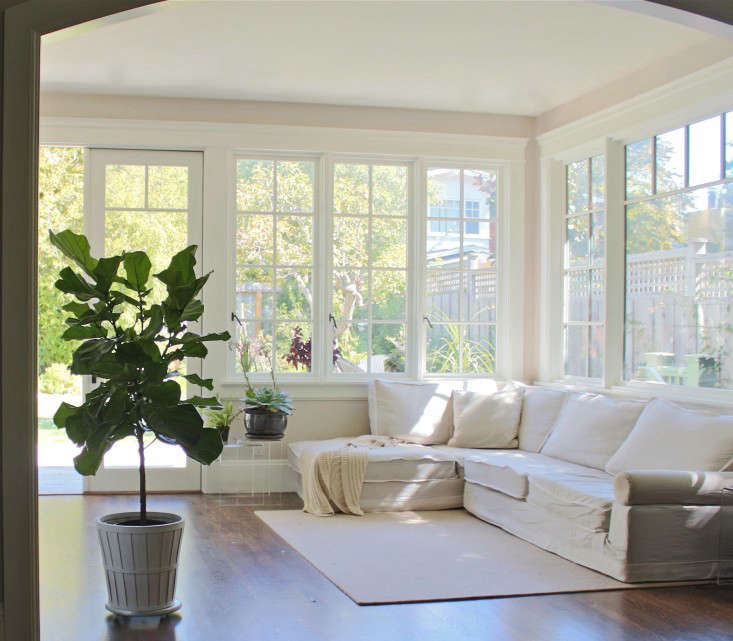 fiddle leaf fig trees in family room