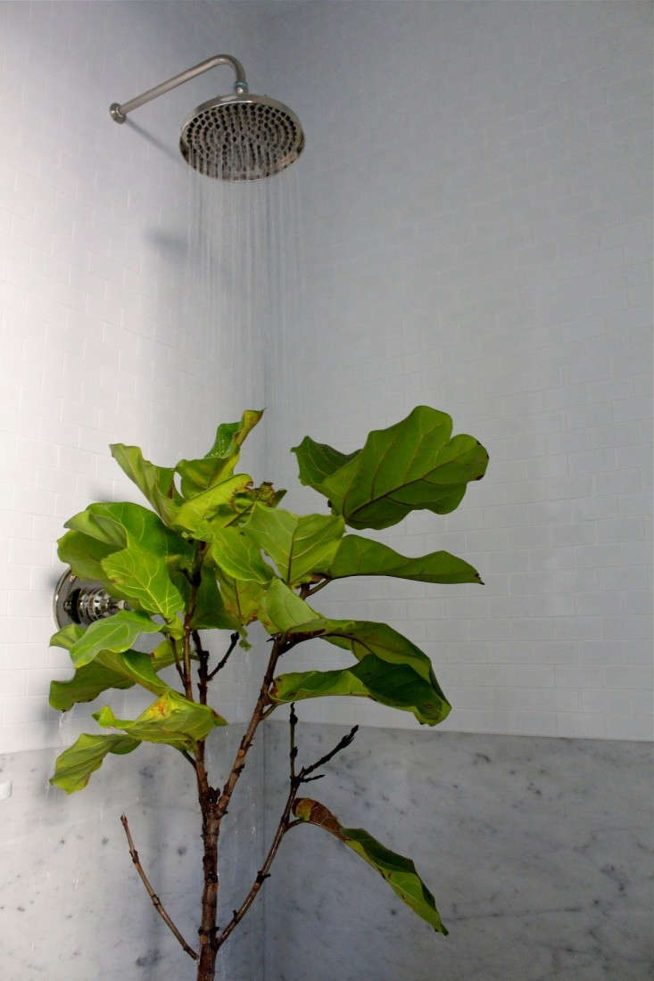 fiddle leaf fig in the shower ; Gardenista