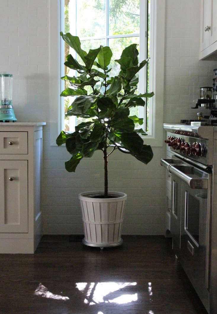 fiddle leaf fig trees in kitchen 1
