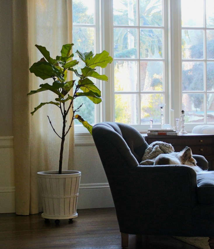 fiddle leaf fig leaf 3