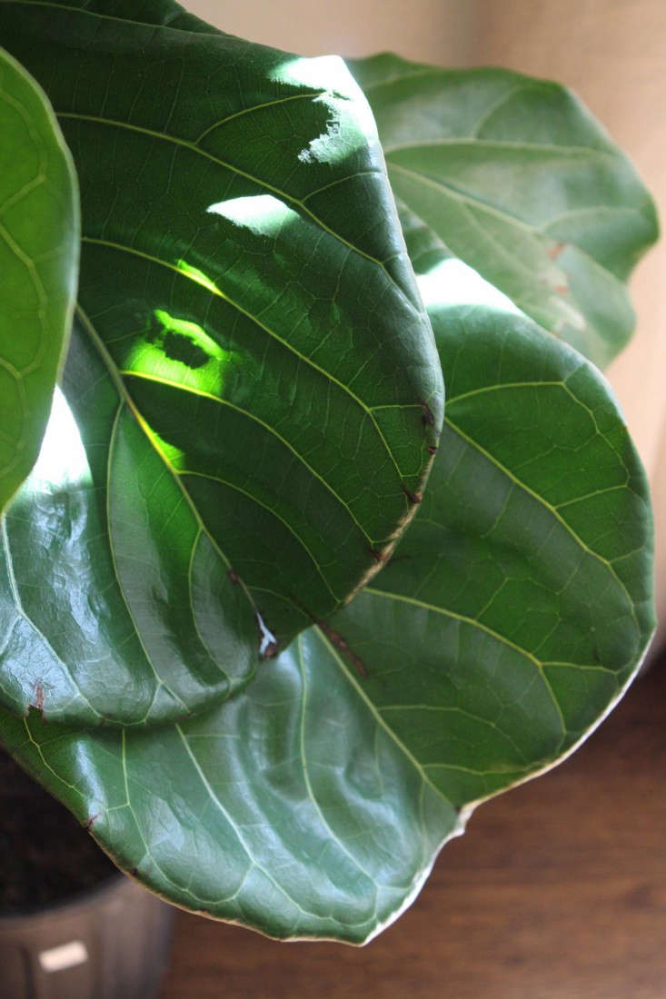 fiddle leaf fig leaf closeup