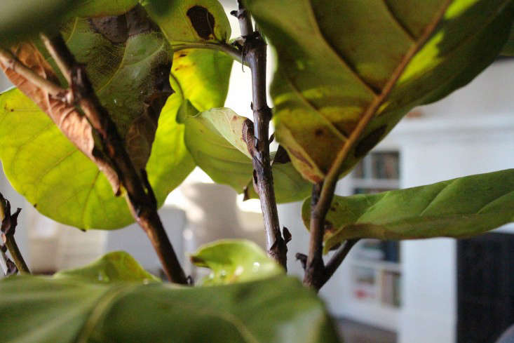 fiddle leaf fig leaf detail