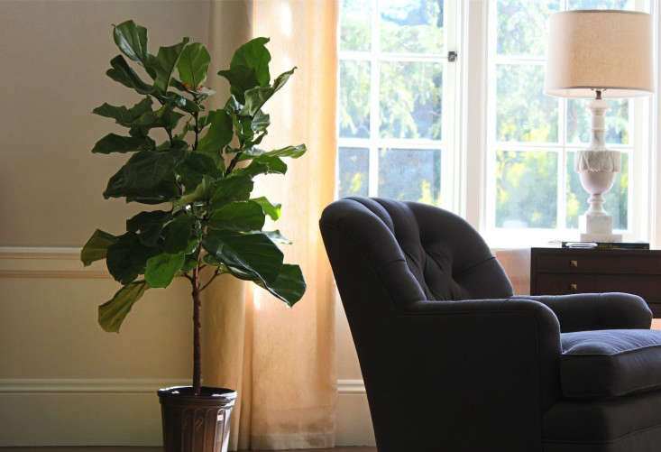 fiddle leaf fig sunny window 2