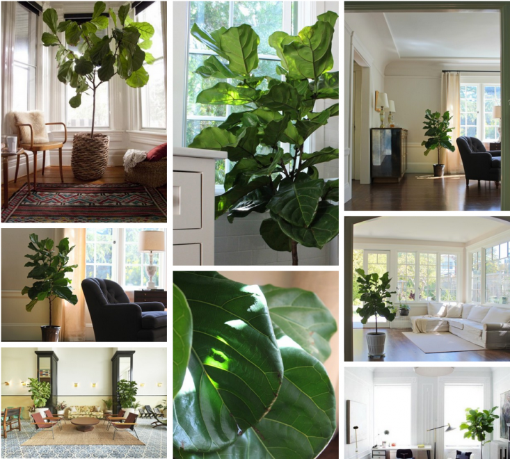 How To String Lights On A Ficus Tree : Field Guide: Fiddle Leaf Fig: Gardenista