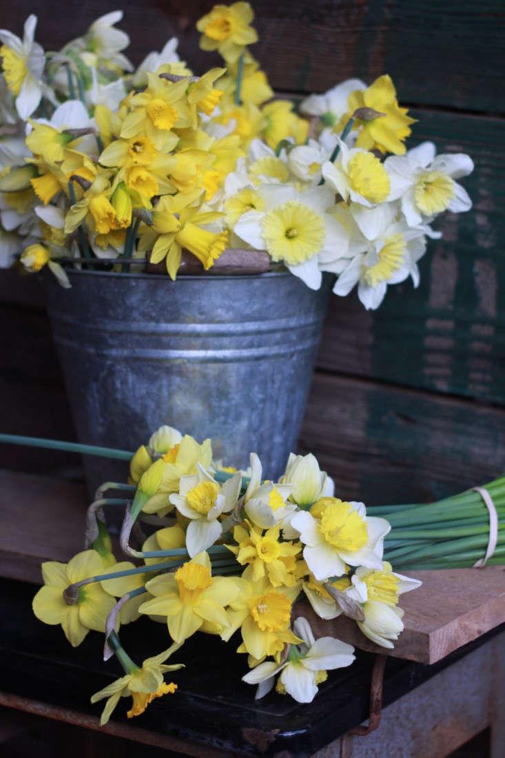 first-2014-flower-harvest-daffy