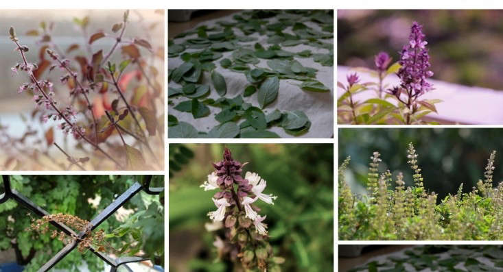 fix-holy-basil-collage-field-guide-gardenista