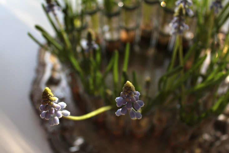 forced muscari from above ; Gardenista