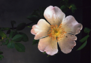 fragrant-old-rose-eglantier-sauvage-gardenista