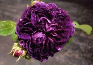 ragrant-scented-old-rose-charles-de-mills-gardenista
