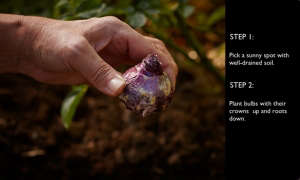 gardening 101 plant bulb roots down l Gardenista