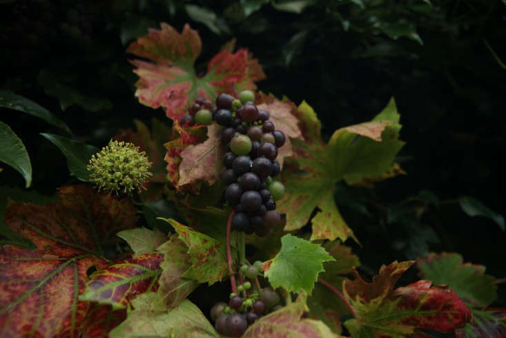 grape and ivy flower