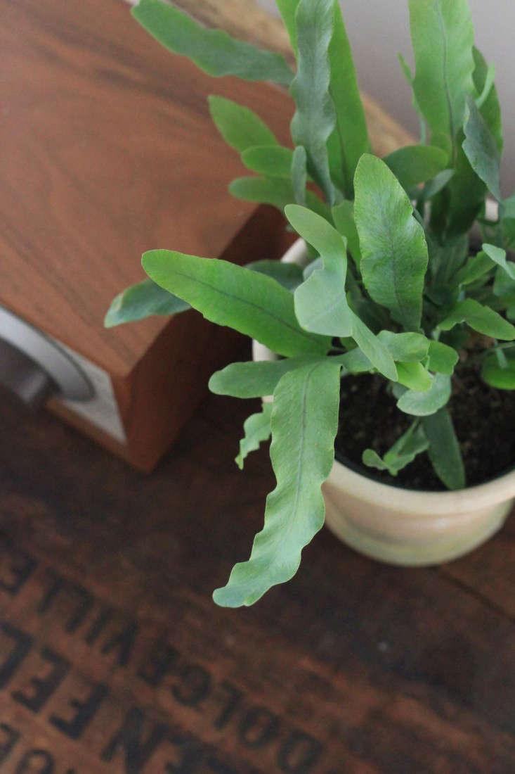 hardy-blue-fern-erin-boyle-gardenista