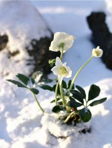 hellebores bloom snow winter for curb appeal ; Gardenista