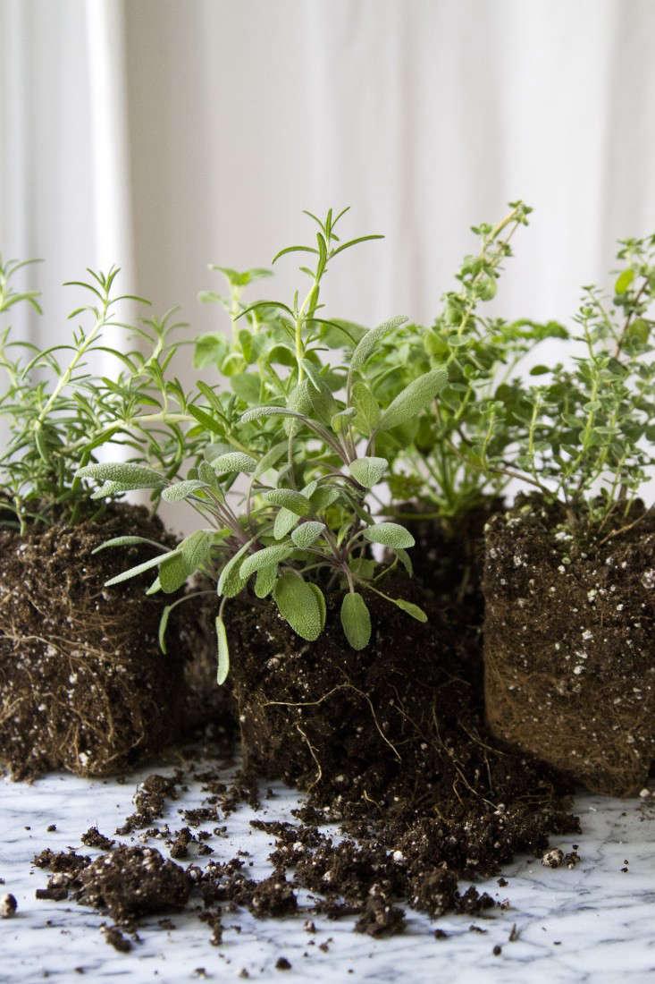 herb-garden-erin-boyle-gardenista-1