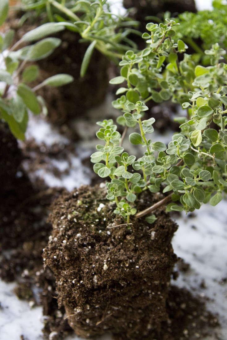herb-garden-erin-boyle-gardenista-3