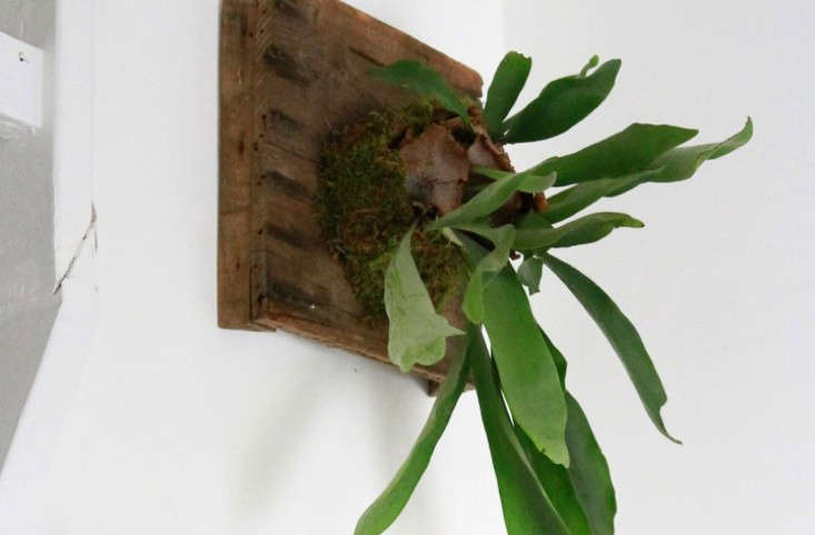 Diy How To Hang A Staghorn Fern Gardenista