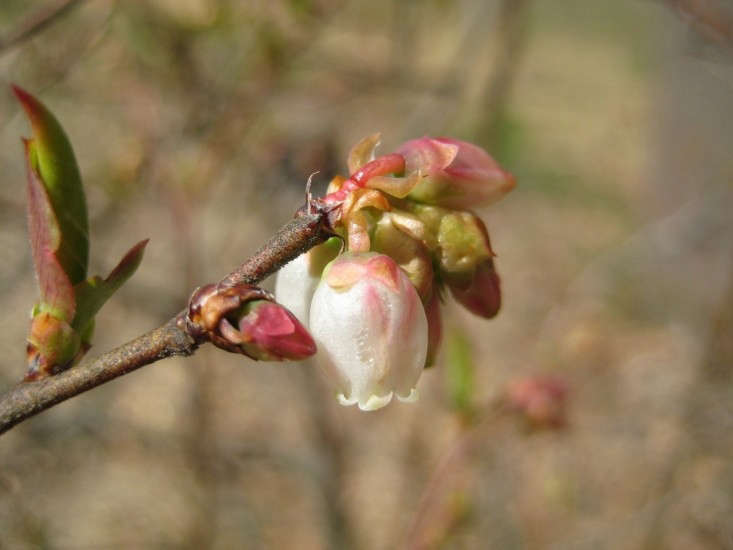 high-blueberry-flower-caroline-polgar