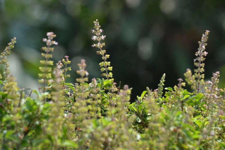 Field Guide Tulsi Basil Gardenista