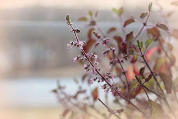 holy-basil-resh-gardenista