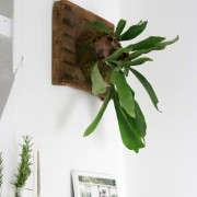 how-to-mount-a-staghorn-fern-1-erin-boyle-gardenista