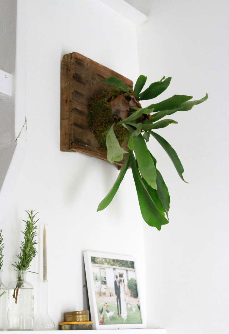 how-to-mount-a-staghorn-fern-1-erin-boyle-gardenista