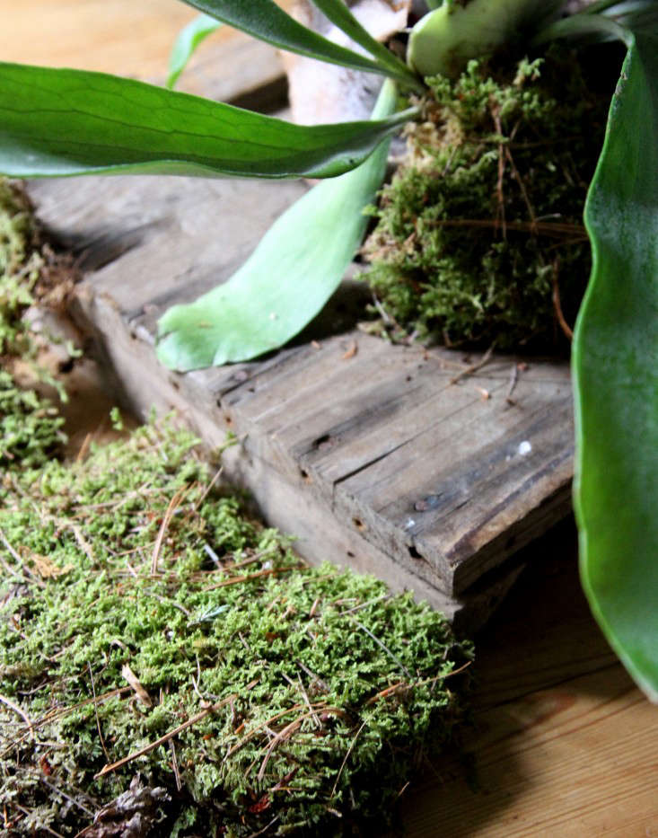 how-to-mount-a-staghorn-fern-10-erin-boyle-gardenista