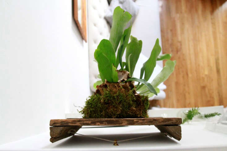 how-to-mount-a-staghorn-fern-2-erin-boyle-gardenista