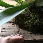 how-to-mount-a-staghorn-fern-6-erin-boyle-gardenista