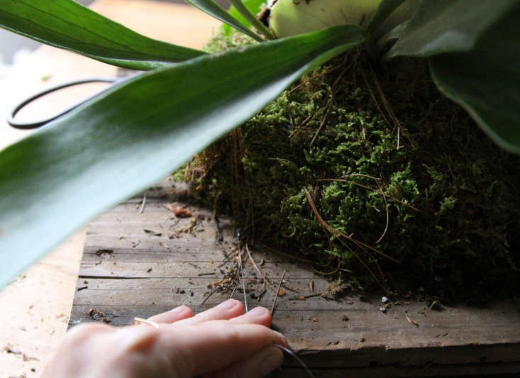 how-to-mount-a-staghorn-fern-6-erin-boyle-gardenista
