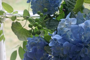 hydrangea and grape vine bouquet, close up 2, Gardenista