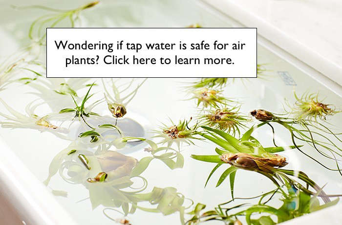 is tap water safe for air plants l Gardenista
