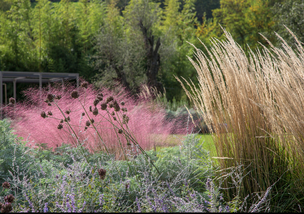 Pink grasses 11 ideas for muhlenbergia in a landscape for Perennial landscape grasses