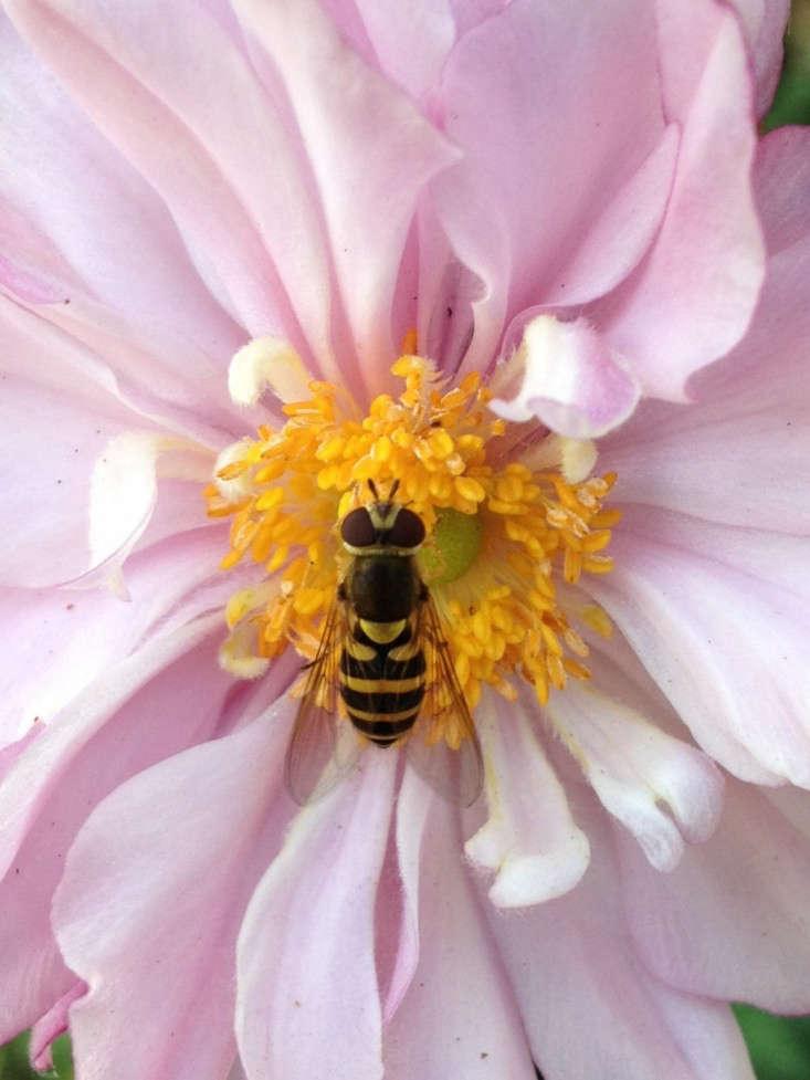 japanese-anemone-bee-gardenista