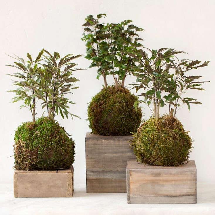 kokedama-aralia-ferns-gardenista