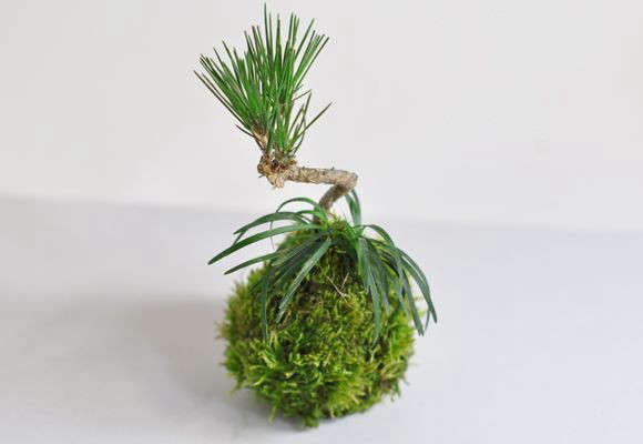 kokedama-black-pine-tree-gardenista