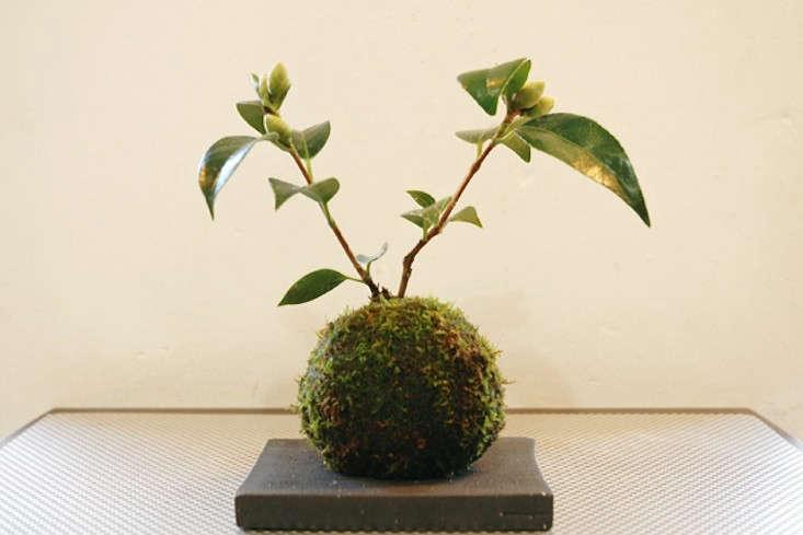 kokedama-camellia-gardenista