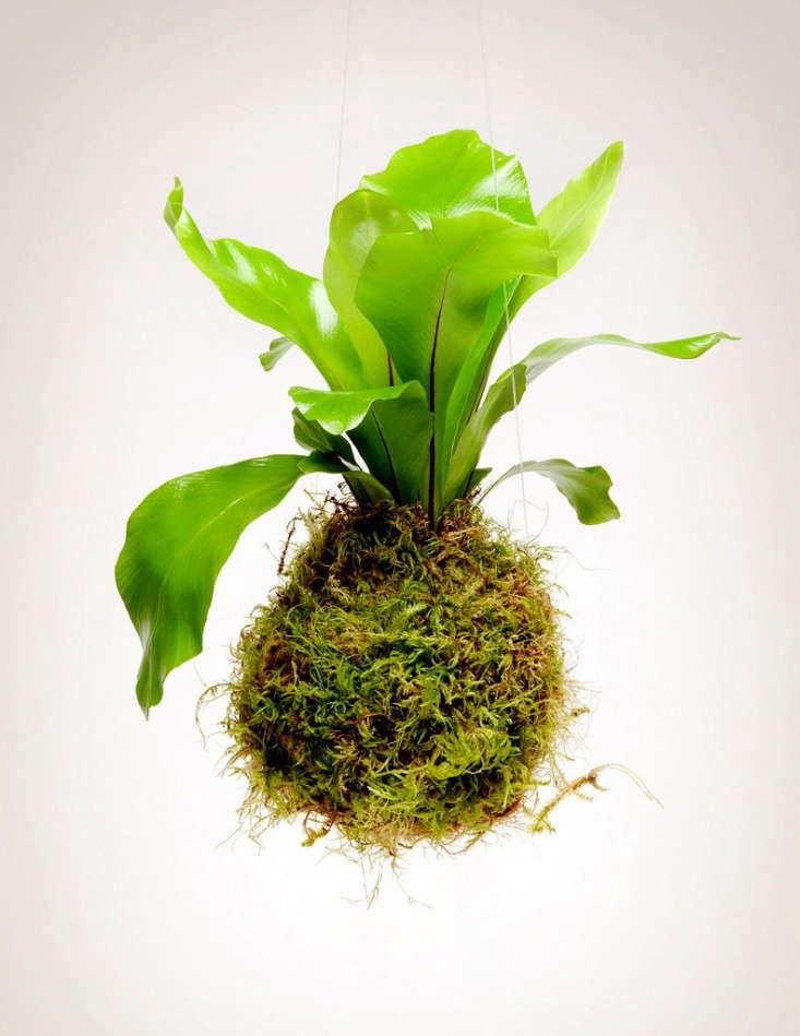 kokedama-fern-pistils-nursery-gardenista