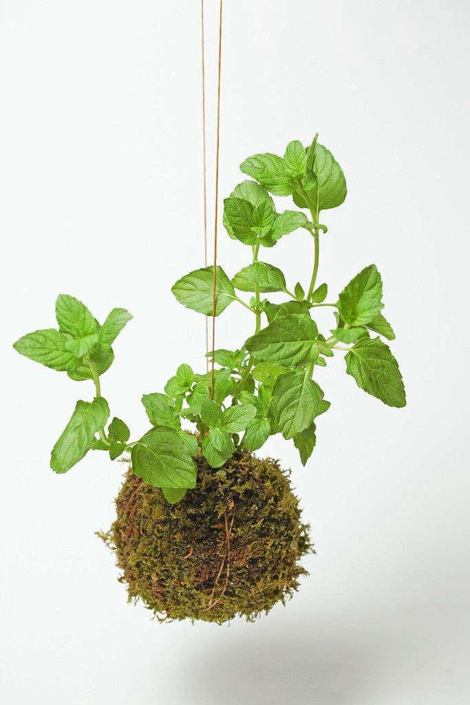 kokedama-herb-mint-gardenista