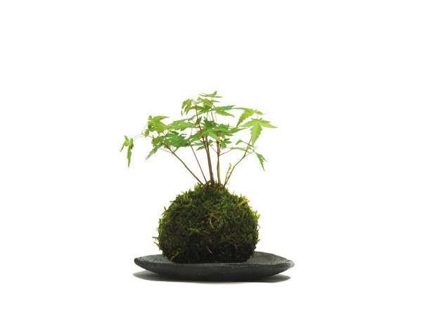 kokedama-japanese-maple-gardenista