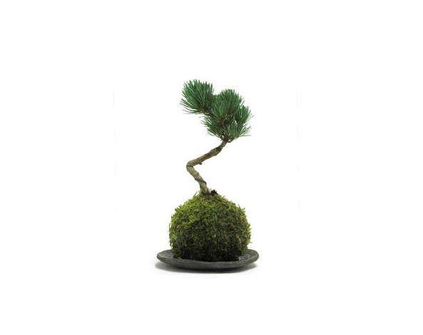 kokedama-rocca-clann_gardenista