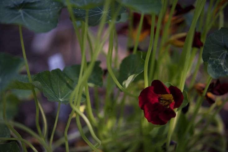 laura-silverman-nasturtiums-gardenista