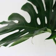 leaf_monstera_erinboyle_gardenista