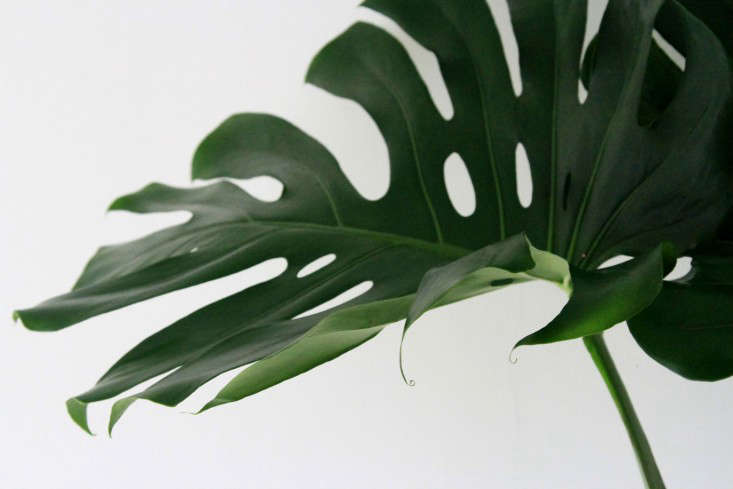 leaf_monstera_erinboyle_gardenista Large Leaf Houseplants Pineapple on large leaf trees, large leaf hydrangeas, large leaf perennials, large leaf food, large leaf basil, large leaf ivy, large leaf ferns, large leaf recipes, large leaf shrubs, large leaf palms, large leaf vines, large leaf philodendron care, large leaf iris, large green leaf, large leaf lilies, large leaf planters, large leaf succulents, large split leaf philodendron, large leaf hibiscus, large leaf weeds,