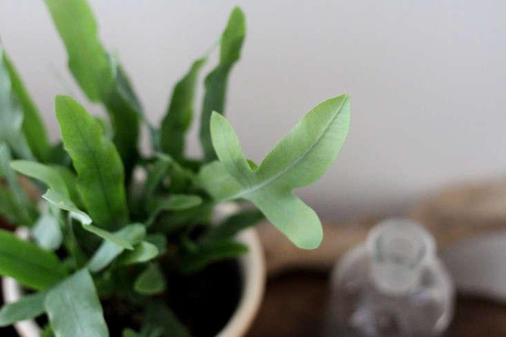 leaves-hardy-blue-fern-erin-boyle-gardenista