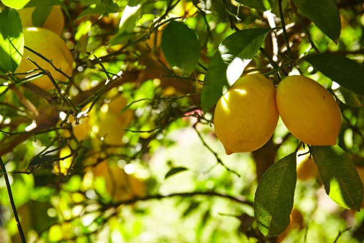 linda-tom-kubik-lemons-gardenista
