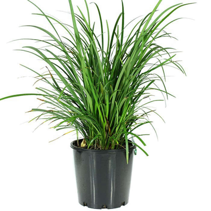 Liriope Evergreen Giant: Gardenista