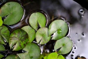 Lotus plants floating in water pool ; Gardenista