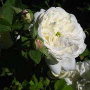 madame-plantier-rose-wikipedia-public-domain