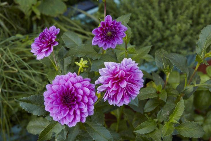 manhattan-roof-garden-dahlias-gardenista